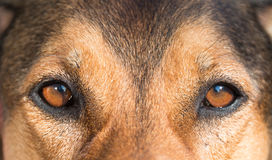 Portrait of a hunting dog - beautiful symmetry of the face, focu Royalty Free Stock Photo