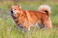 Portrait of hunting dog finnish spitz outdoors Stock Photo