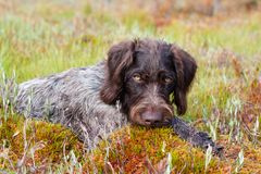 Hunting dog on the swamp. Portrait of hunting dog german wirehaired pointer outdoors Royalty Free Stock Images