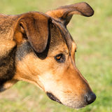 Portrait of a hunting dog - head angle view Stock Photos