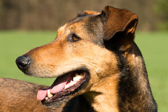Portrait of a hunting dog - head angle view Royalty Free Stock Images