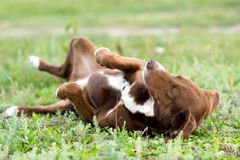 Portrait of a hunting dog on the lawn Stock Image