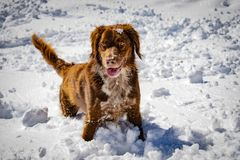 Portrait of a hunting dog in the snow stock photo
