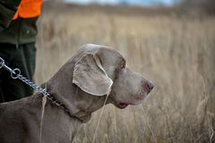 Portrait of a hunting dog. Weimaraner. Weimar Pointer. View of the dog on the right stock images