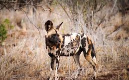 Portrait of Hunting painted wild dog with big ears. Portrait of Hunting painted dog with big ears, beautiful wild animal. Wildlife from South Africa stock images