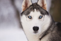 Portrait of a husky Stock Photography