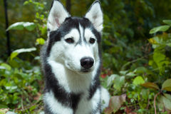 Portrait of a Husky dog Stock Images