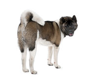 Portrait of husky dog against white background Royalty Free Stock Image