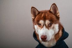 Portrait husky dog in black hoodie on Isolated gray background. Brown siberian husky in sweatshirt looks at camera front view stock photo