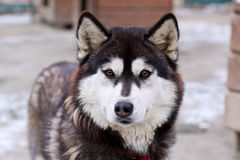 The portrait of husky dog Royalty Free Stock Image