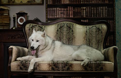 Portrait husky dog on couch Stock Images