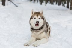 Portrait of Husky dog lying in winter forest. Brown and White Siberian husky is on the snow on Sakhalin Island in Russia royalty free stock photos