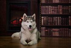 Portrait husky dog near a fireplace Stock Image