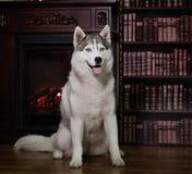 Portrait husky dog near a fireplace Royalty Free Stock Images