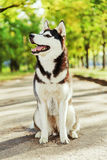 Portrait Husky dog with a smile Royalty Free Stock Photos