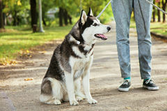 Portrait Husky dog with a smile Stock Image