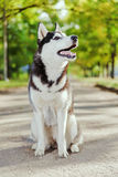 Portrait Husky dog with a smile Stock Photography