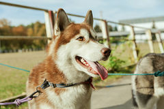 Portrait Husky dog with a smile Royalty Free Stock Images