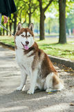 Portrait Husky dog with a smile Stock Photo