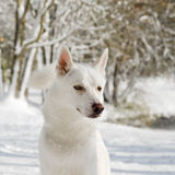 Portrait of an husky dog in Winter Royalty Free Stock Photo