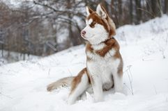 Portrait of a Husky dog in the winter forest. Or park Stock Photography