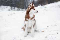 Portrait of a Husky dog in the winter forest. Or park Royalty Free Stock Photo