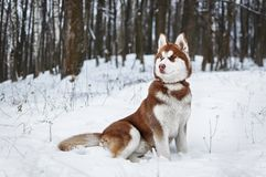 Portrait of a Husky dog in the winter forest. Or park Stock Image