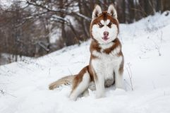 Portrait of a Husky dog in the winter forest. Or park Royalty Free Stock Photography