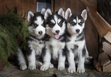Portrait of Husky puppies Royalty Free Stock Images