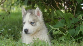 Portrait of husky puppy with a blue eyes stock video