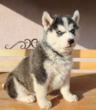 Portrait of husky puppy Stock Image