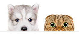 Portrait of a Husky puppy and Scottish Fold cat peeking from behind a banner. Closeup, isolated on white background Royalty Free Stock Photos