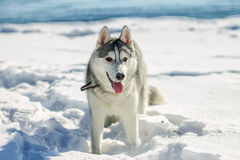 Portrait of husky puppy in winter in snow.  stock photos