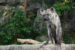 Portrait of hyena Stock Photo