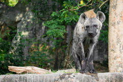 Portrait of hyena. With forest background Stock Photo