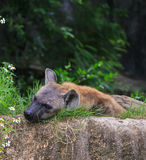 Portrait of Hyena in the Khao Kheow Zoo Stock Photo