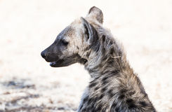 Portrait of a Hyena Pup in Sunshine Royalty Free Stock Images