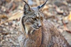 Portrait ibérien de lynx Photo libre de droits