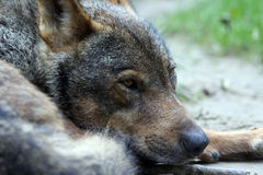 portrait of an iberian wolf Royalty Free Stock Photo