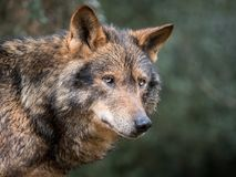 Portrait of iberian wolf royalty free stock photography