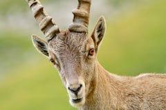 Portrait of ibex Stock Photography