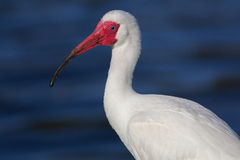 Portrait of an Ibis Royalty Free Stock Images