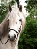 Portrait of an Icelandic horse. Portrait of a white Icelandic horse Stock Images