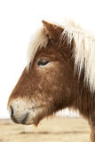 Portrait of an Icelandic pony with blonde mane Royalty Free Stock Photos