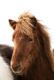 Portrait of an Icelandic pony with a brown mane Stock Image