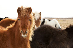 Portrait of an Icelandic pony with a brown mane Stock Photo