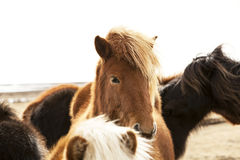 Portrait of an Icelandic pony with a brown mane Royalty Free Stock Photography