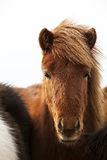 Portrait of an Icelandic pony with a brown mane Royalty Free Stock Photo