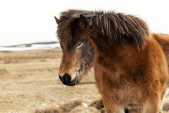 Portrait of an Icelandic pony with a brown mane Stock Photos