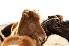 Portrait of an Icelandic pony with a brown mane Stock Images